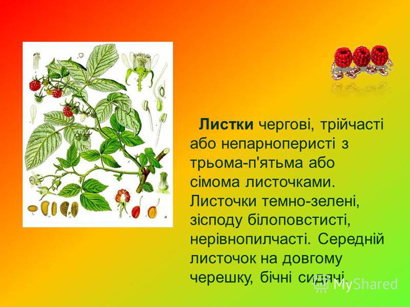 Листки чергові, трійчасті або непарноперисті з трьома-п'ятьма або сімома листочками. Листочки темно-зелені, зісподу білоповстисті, нерівнопилчасті. Середній листочок на довгому черешку, бічні сидячі.