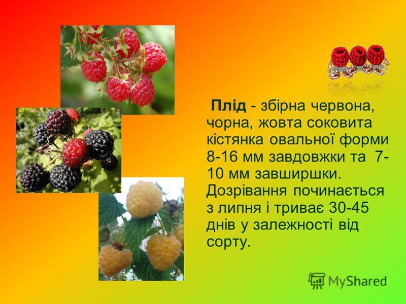 Плід - збірна червона, чорна, жовта соковита кістянка овальної форми 8-16 мм завдовжки та 7- 10 мм завширшки. Дозрівання починається з липня і триває 30-45 днів у залежності від сорту.