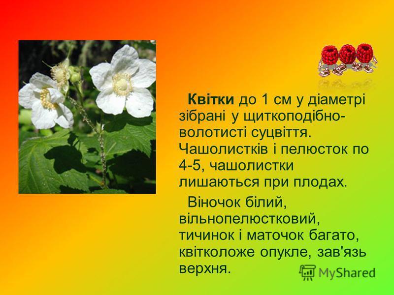 Квітки до 1 см у діаметрі зібрані у щиткоподібно- волотисті суцвіття. Чашолистків і пелюсток по 4-5, чашолистки лишаються при плодах. Віночок білий, вільнопелюстковий, тичинок і маточок багато, квітколоже опукле, зав'язь верхня.