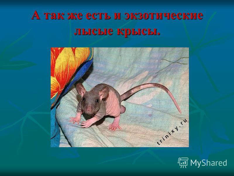 А так же есть и экзотические лысые крысы.