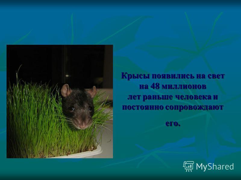 Крысы появились на свет на 48 миллионов лет раньше человека и постоянно сопровождают его.