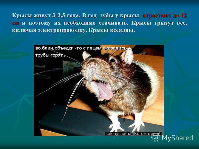Крысы живут 3-3,5 года. В год зубы у крысы отрастают до 12 см и поэтому их необходимо стачивать. Крысы грызут все, включая электропроводку. Крысы всеядны.