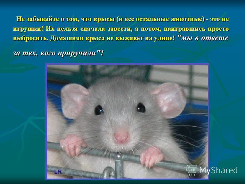 Не забывайте о том, что крысы (и все остальные животные) - это не игрушки! Их нельзя сначала завести, а потом, наигравшись просто выбросить. Домашняя крыса не выживет на улице! мы в ответе за тех, кого приручили!