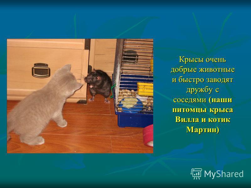 Крысы очень добрые животные и быстро заводят дружбу с соседями (наши питомцы крыса Вилла и котик Мартин)