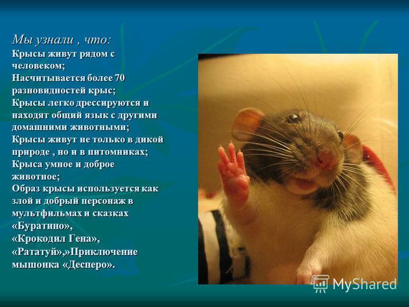 Мы узнали, что: Крысы живут рядом с человеком; Насчитывается более 70 разновидностей крыс; Крысы легко дрессируются и находят общий язык с другими домашними животными; Крысы живут не только в дикой природе, но и в питомниках; Крыса умное и доброе жив