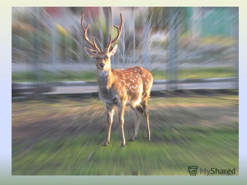 Посмотрите, впереди: Стройный, быстрый, рога ветвисты, Пасется весь день, Кто же это?