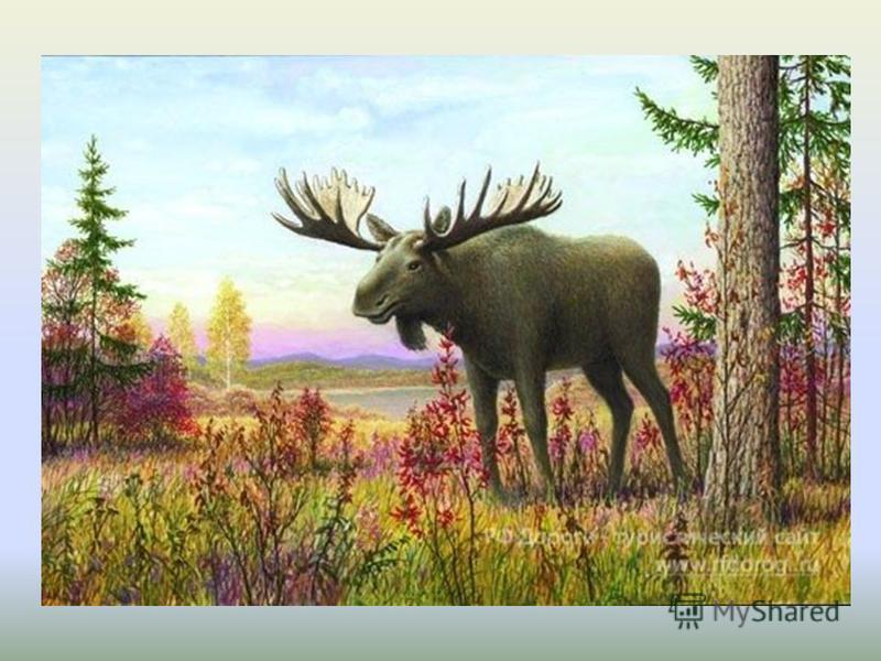Трав копытами касаясь, Ходит по лесу красавец, Ходит смело и легко, Рога раскинув широко.