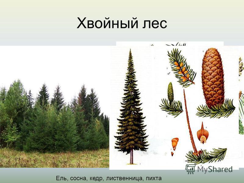Хвойный лес кедр Ель, сосна, кедр, лиственница, пихта