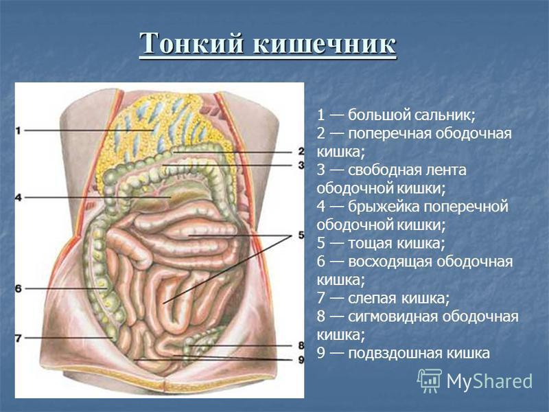 Тонкий кишечник 1 большой сальник; 2 поперечная ободочная кишка; 3 свободная лента ободочной кишки; 4 брыжейка поперечной ободочной кишки; 5 тощая кишка; 6 восходящая ободочная кишка; 7 слепая кишка; 8 сигмовидная ободочная кишка; 9 подвздошная кишка
