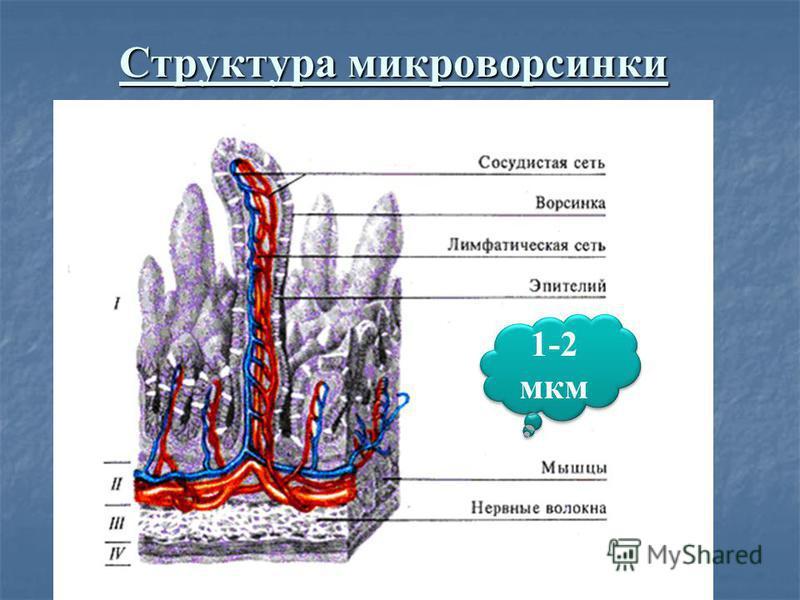 Структура микроворсинки 1-2 мкм