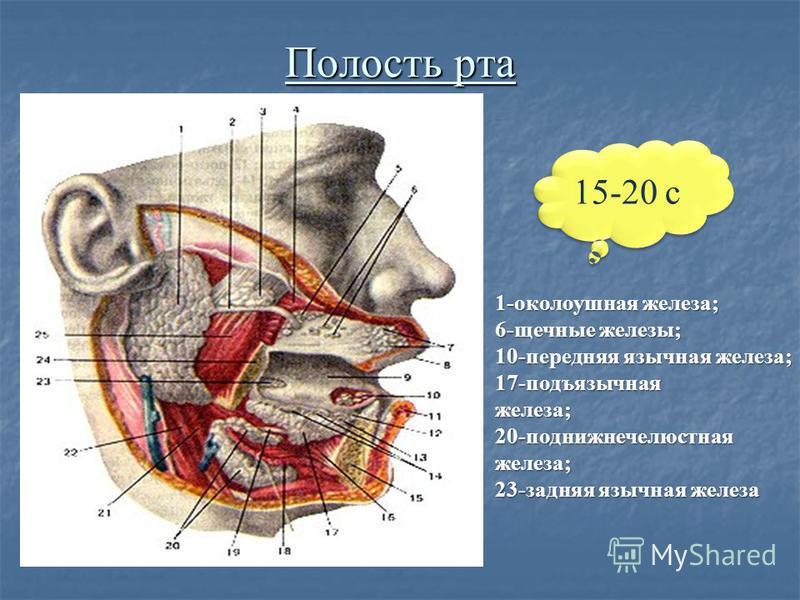 Полость рта 1-околоушная железа; 6-щечные железы; 10-передняя язычная железа; 17-подъязычная железа; 1-околоушная железа; 6-щечные железы; 10-передняя язычная железа; 17-подъязычная железа; 20-поднижнечелюстная железа; железа; 23-задняя язычная желез