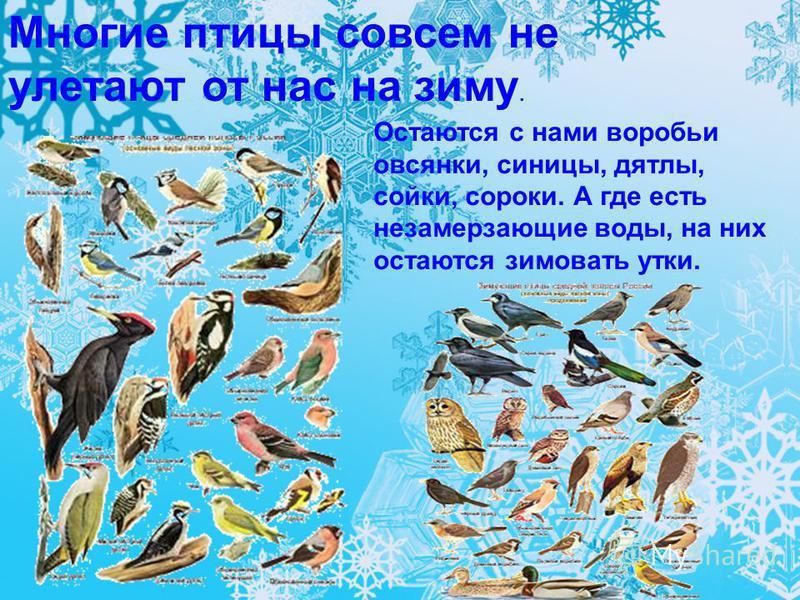 Остаются с нами воробьи овсянки, синицы, дятлы, сойки, сороки. А где есть незамерзающие воды, на них остаются зимовать утки. Многие птицы совсем не улетают от нас на зиму.