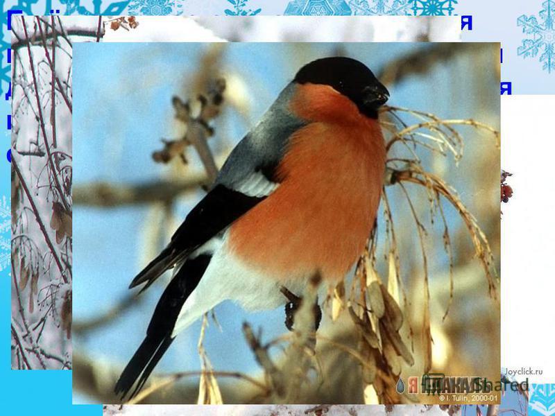 Ещё наряднее становится зимняя природа, когда на покрытых снегом деревьях и кустарниках появляются прилетевшие в гости красавцы снегири.