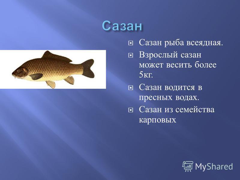 Сазан рыба всеядная. Взрослый сазан может весить более 5 кг. Сазан водится в пресных водах. Сазан из семейства карповых