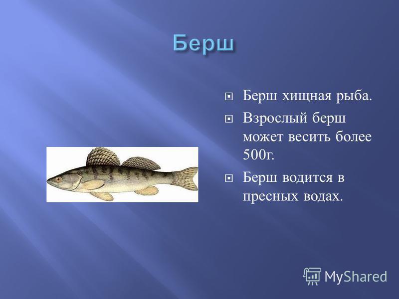 Берш хищная рыба. Взрослый берш может весить более 500 г. Берш водится в пресных водах.