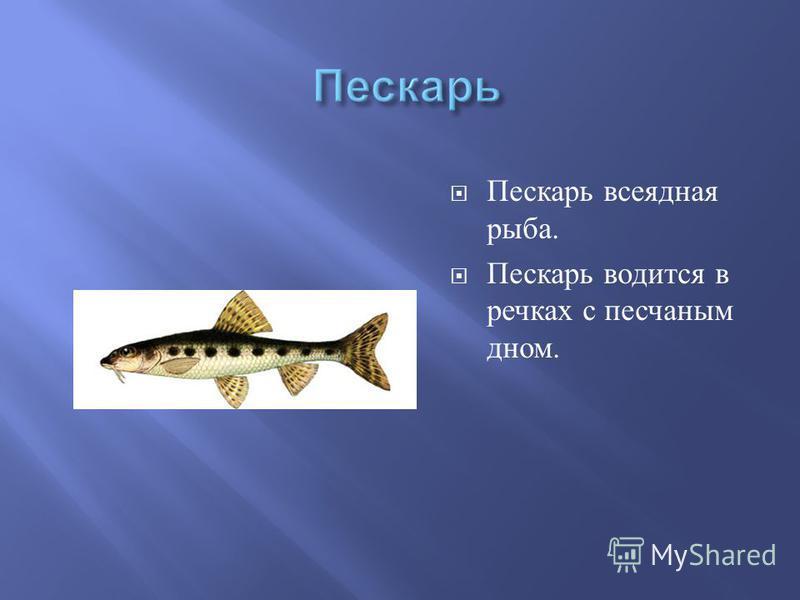Пескарь всеядная рыба. Пескарь водится в речках с песчаным дном.