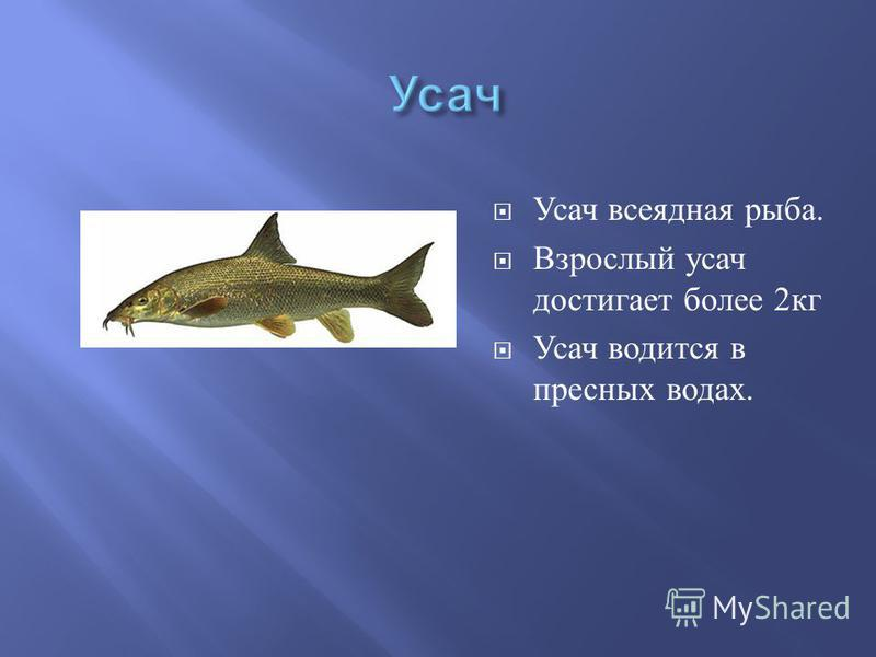 Усач всеядная рыба. Взрослый усач достигает более 2 кг Усач водится в пресных водах.