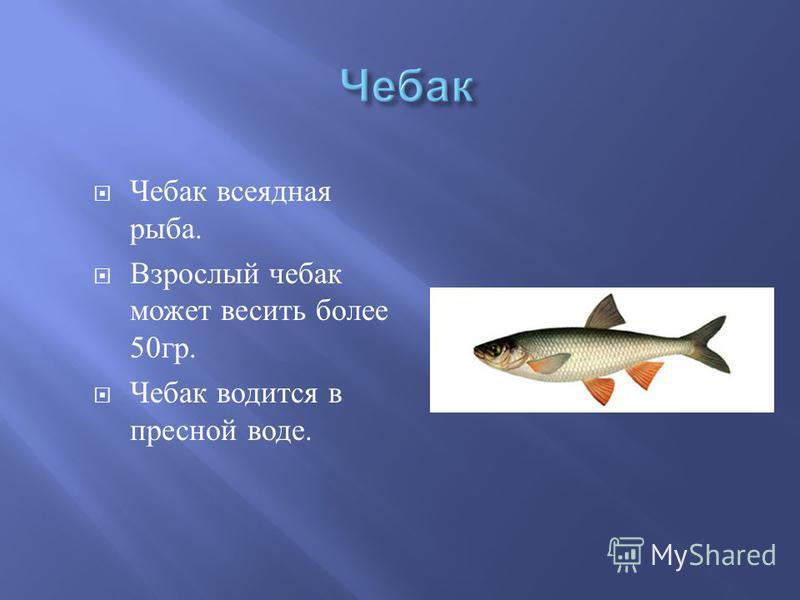 Чебак всеядная рыба. Взрослый чебак может весить более 50 гр. Чебак водится в пресной воде.