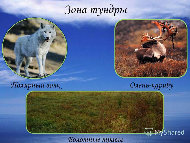 Зона тундры Полярный волк Олень-карибу Болотные травы