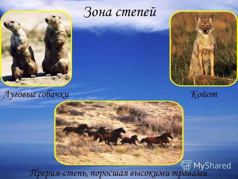 Зона степей Прерия-степь, поросшая высокими травами Койот Луговые собачки