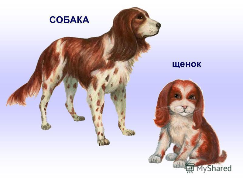 СОБАКА щенок