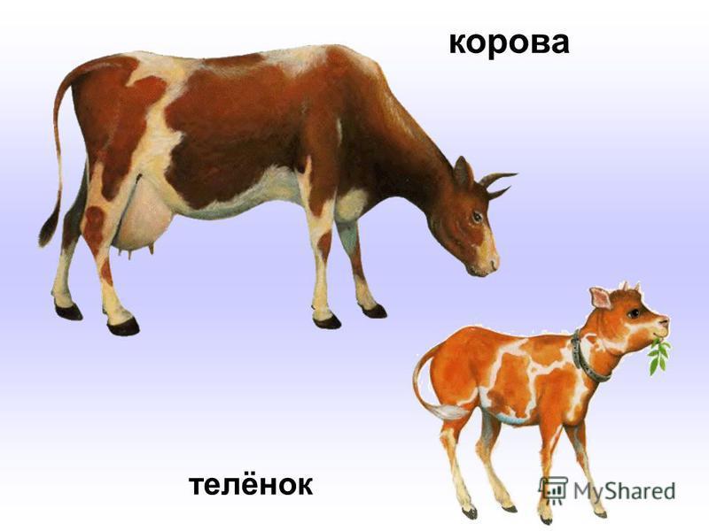 корова телёнок