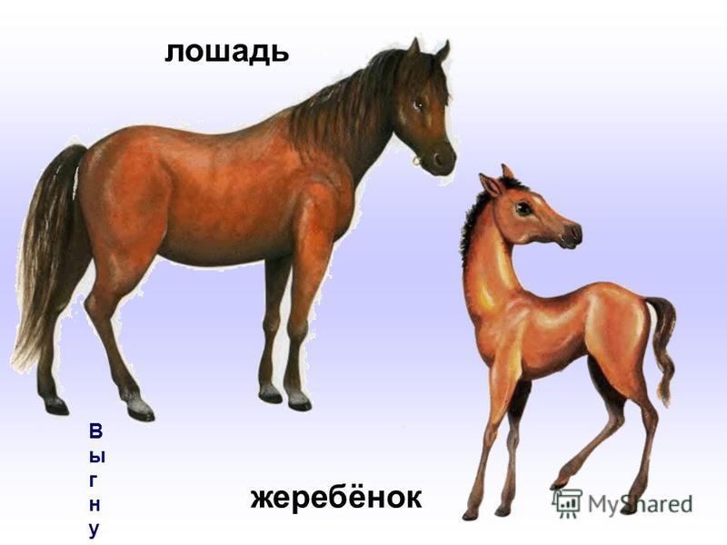 Выгнул шейку жеребёнок –Сильной лошади ребёнок,Только на копытца встал,Вслед за мамой побежал.Выгнул шейку жеребёнок –Сильной лошади ребёнок,Только на копытца встал,Вслед за мамой побежал. лошадь жеребёнок
