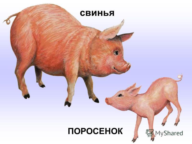 свинья ПОРОСЕНОК