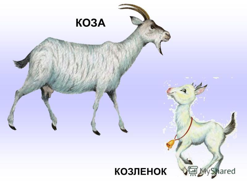 КОЗА КОЗЛЕНОК