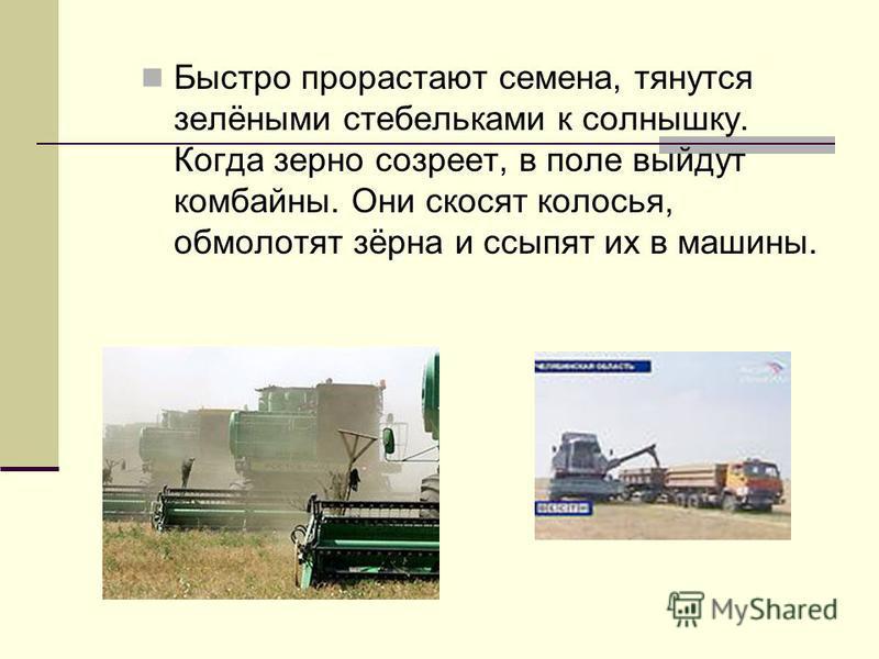 Быстро прорастают семена, тянутся зелёными стебельками к солнышку. Когда зерно созреет, в поле выйдут комбайны. Они скосят колосья, обмолотят зёрна и ссыпят их в машины.