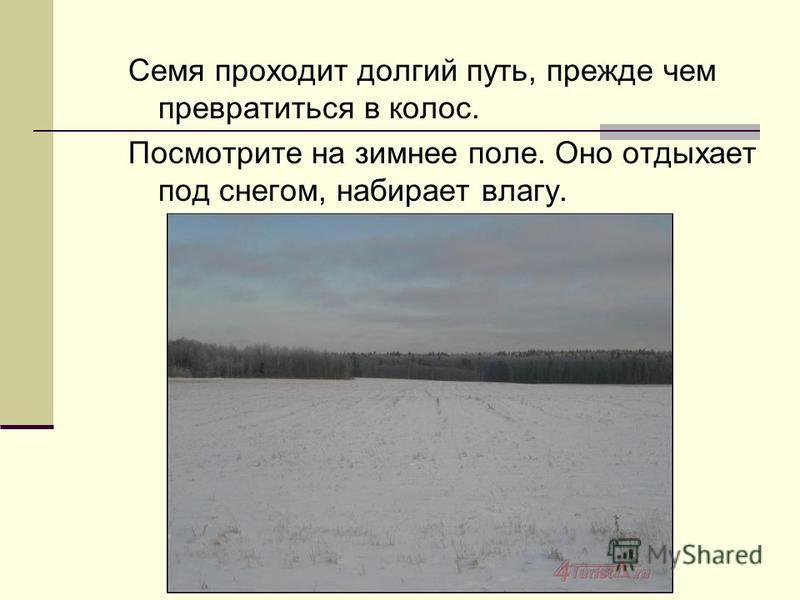 Семя проходит долгий путь, прежде чем превратиться в колос. Посмотрите на зимнее поле. Оно отдыхает под снегом, набирает влагу.