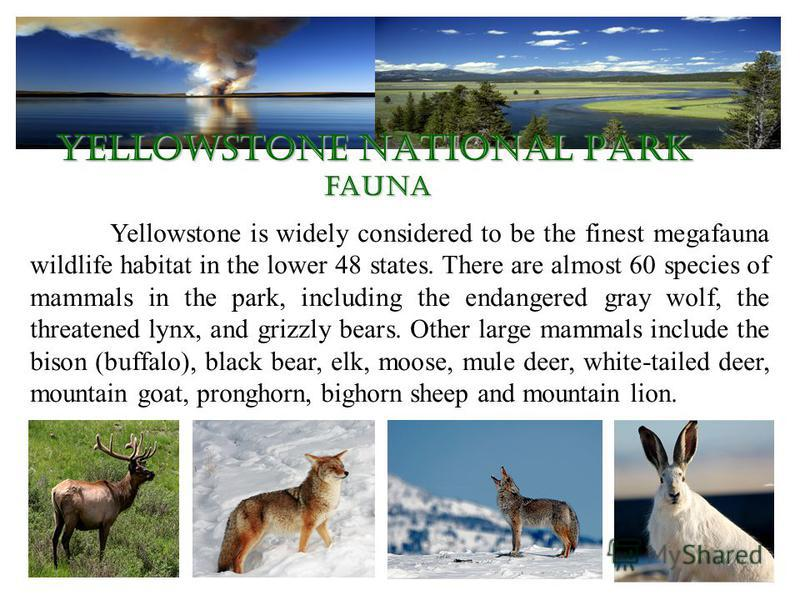 Yellowstone National Park fauna Yellowstone is widely considered to be the finest megafauna wildlife habitat in the lower 48 states. There are almost 60 species of mammals in the park, including the endangered gray wolf, the threatened lynx, and griz