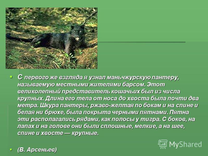 С первого же взгляда я узнал маньчжурскую пантеру, называемую местными жителями барсом. Этот великолепный представитель кошачьих был из числа крупных. Длина его тела от носа до хвоста была почти два метра. Шкура пантеры, ржаво-желтая по бокам и на с