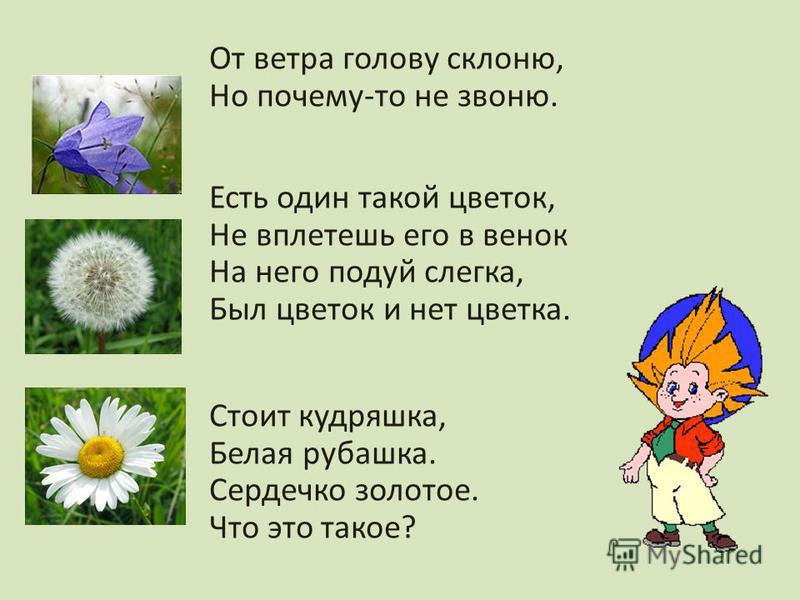 От ветра голову склоню, Но почему-то не звоню. Есть один такой цветок, Не вплетешь его в венок На него подуй слегка, Был цветок и нет цветка. Стоит кудряшка, Белая рубашка. Сердечко золотое. Что это такое?