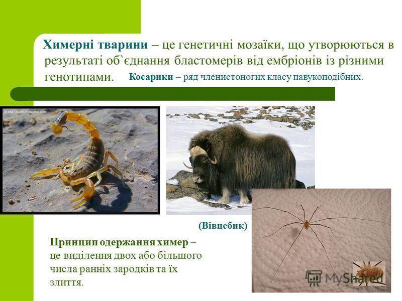 Химерні тварини – це генетичні мозаїки, що утворюються в результаті об`єднання бластомерів від ембріонів із різними генотипами. Косарики – ряд членистоногих класу павукоподібних. Принцип одержання химер – це виділення двох або більшого числа ранніх з