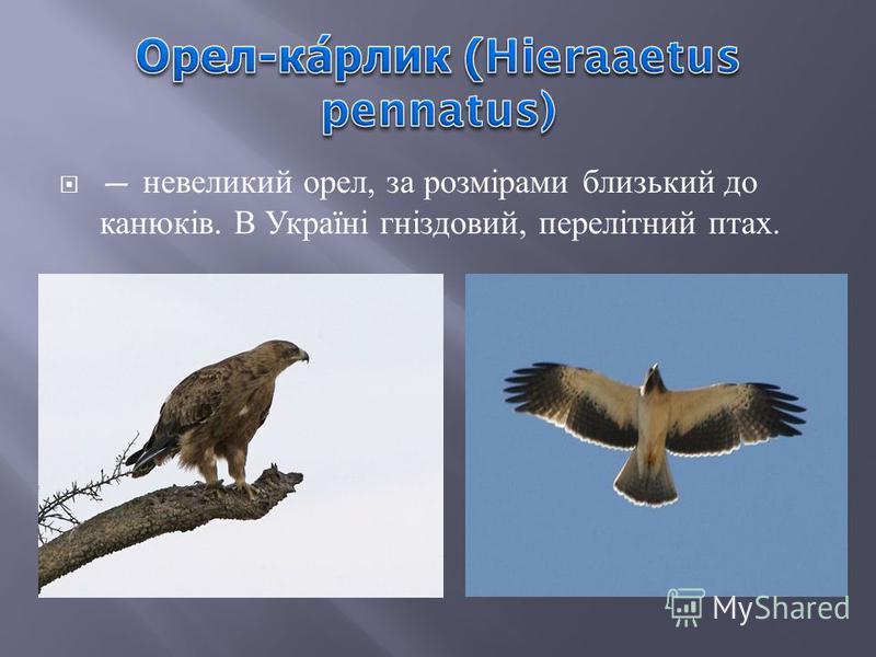 невеликий орел, за розмірами близький до канюків. В Україні гніздовий, перелітний птах.