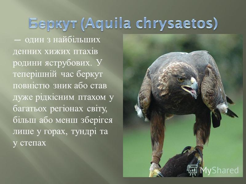 один з найбільших денних хижих птахів родини яструбових. У теперішній час беркут повністю зник або став дуже рідкісним птахом у багатьох регіонах світу, більш або менш зберігся лише у горах, тундрі та у степах