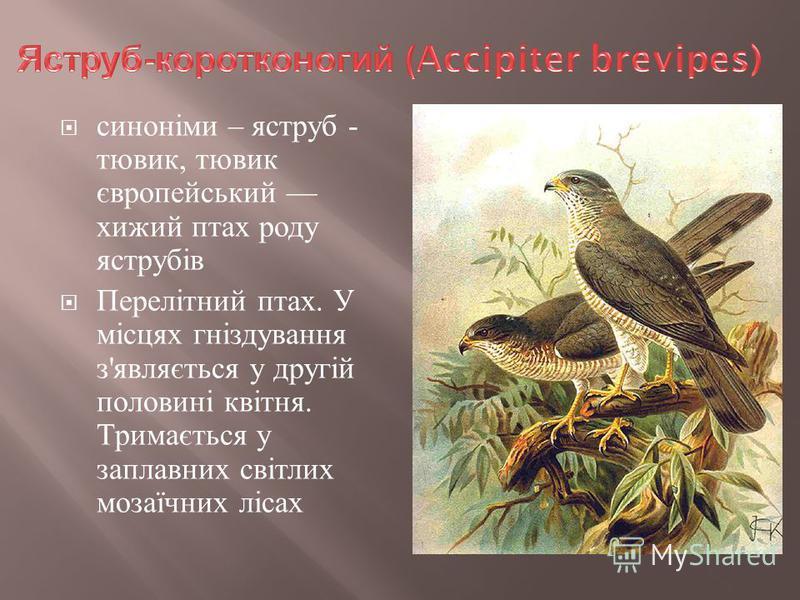 синоніми – яструб - тювик, тювик європейський хижий птах роду яструбів Перелітний птах. У місцях гніздування з ' являється у другій половині квітня. Тримається у заплавних світлих мозаїчних лісах
