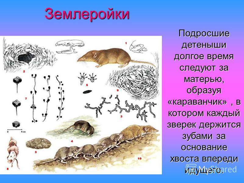 Землеройки Подросшие детеныши долгое время следуют за матерью, образуя «караванщик», в котором каждый зверек держится зубами за основание хвоста впереди идущего.