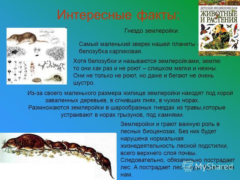 Интересные факты: Гнездо землеройки. Самый маленький зверек нашей планеты – белозубка карликовая. Хотя белозубки и называются землеройками, землю то они как раз и не роют – слишком мелки и нежны. Они не только не роют, но даже и бегают не очень шустр