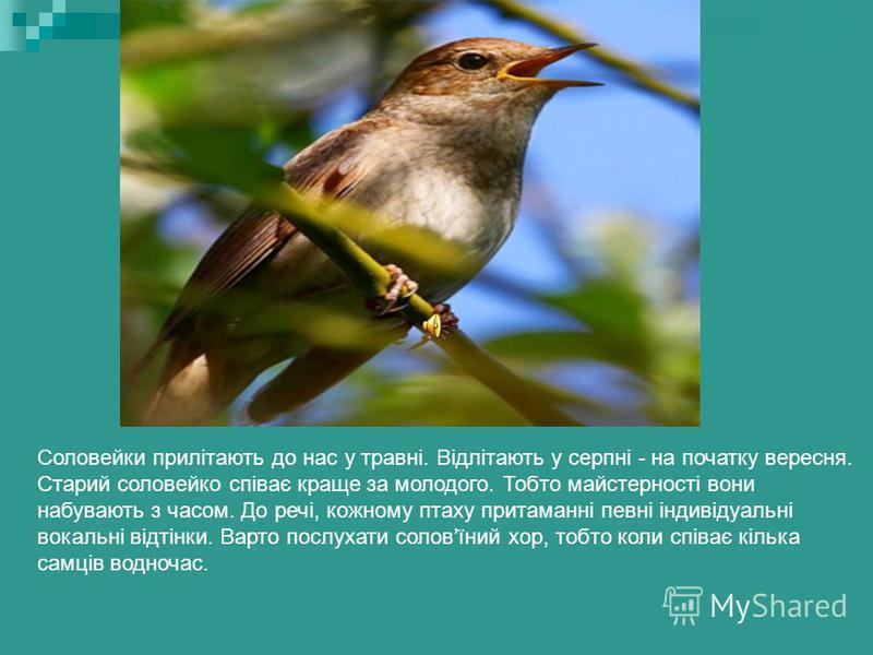 Соловей Протягом травня та червня ми слухаємо соловїні співи. На заході України співає соловейко західний. У нас, на сході, співає соловейко східний, або звичайний. Зимують обидва вони у Центральній Африці. Кажуть, що вони співають і на зимівлі, і на