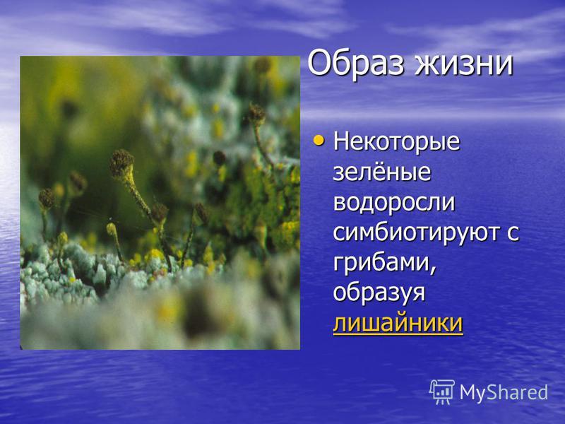 Образ жизни Некоторые зелёные водоросли симбиотируют с грибами, образуя лишайники Некоторые зелёные водоросли симбиотируют с грибами, образуя лишайники лишайники