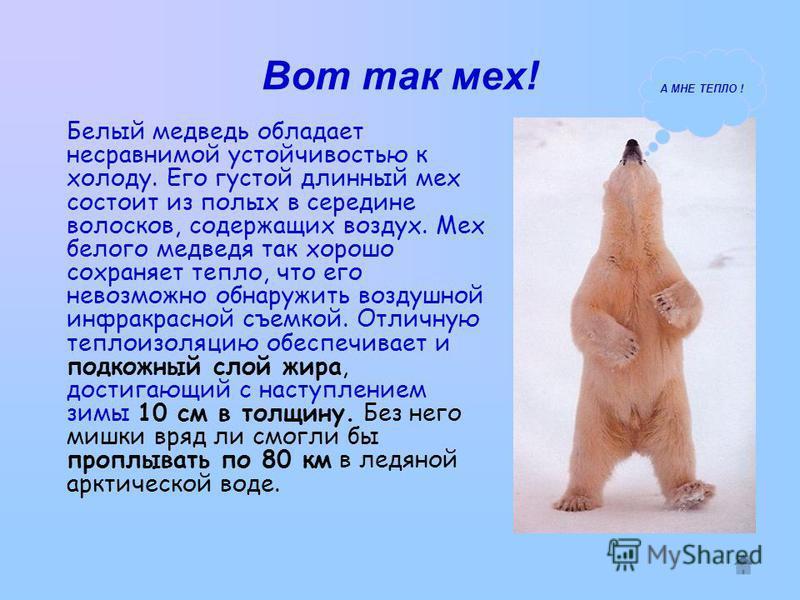 Вот так мех! Белый медведь обладает несравнимой устойчивостью к холоду. Его густой длинный мех состоит из полых в середине волосков, содержащих воздух. Мех белого медведя так хорошо сохраняет тепло, что его невозможно обнаружить воздушной инфракрасно
