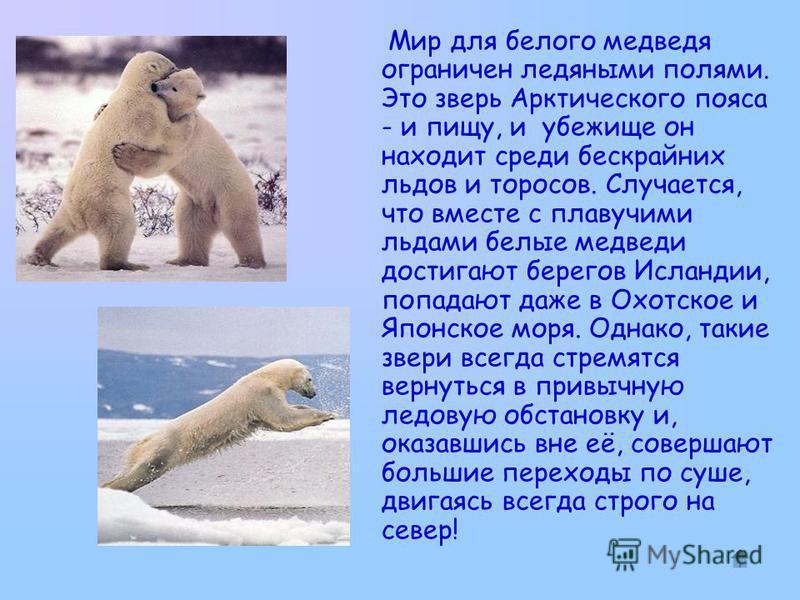 Мир для белого медведя ограничен ледяными полями. Это зверь Арктического пояса - и пищу, и убежище он находит среди бескрайних льдов и торосов. Случается, что вместе с плавучими льдами белые медведи достигают берегов Исландии, попадают даже в Охотско