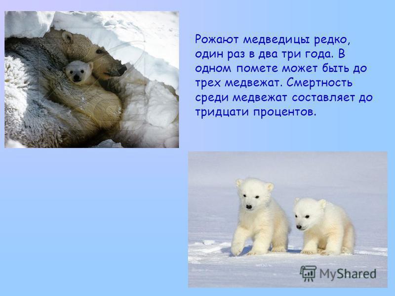 Рожают медведицы редко, один раз в два три года. В одном помете может быть до трех медвежат. Смертность среди медвежат составляет до тридцати процентов.
