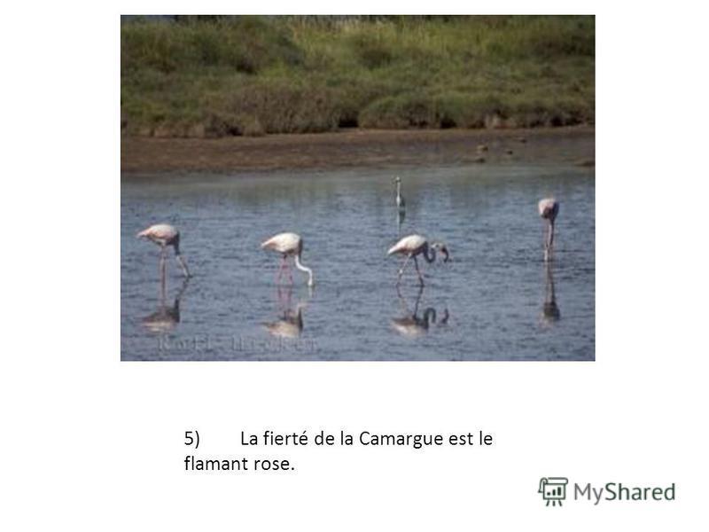 5)La fierté de la Camargue est le flamant rose.