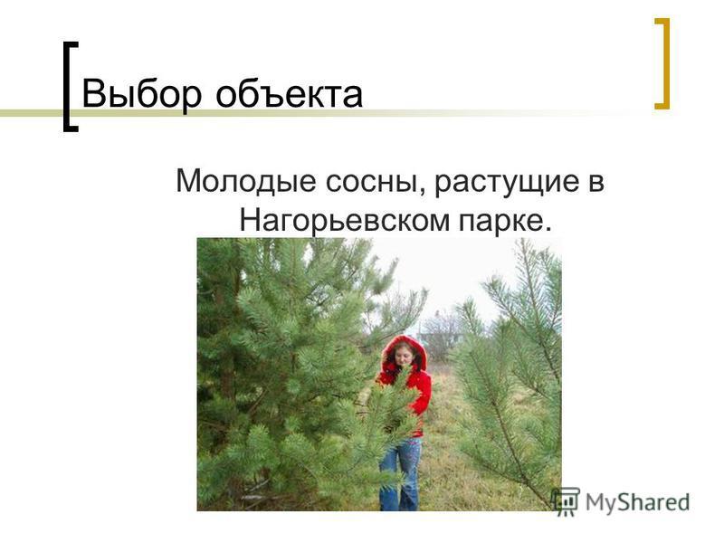 Выбор объекта Молодые сосны, растущие в Нагорьевском парке.