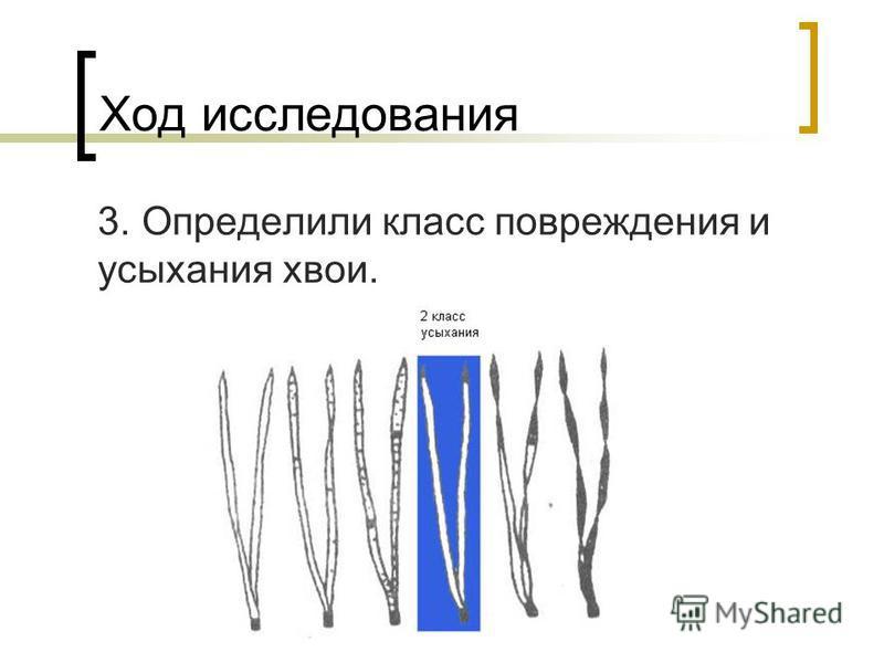 Ход исследования 3. Определили класс повреждения и усыхания хвои.