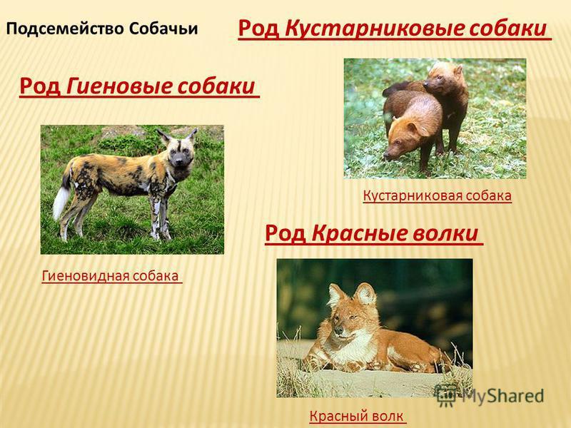 Подсемейство Собачьи Род Кустарниковые собаки Кустарниковая собака Род Красные волки Красный волк Род Гиеновые собаки Гиеновидная собака