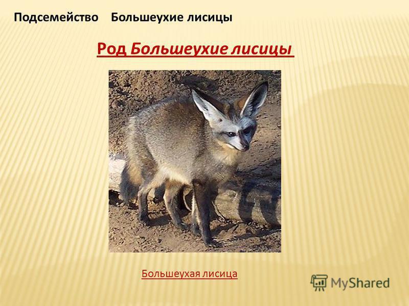 Подсемейство Большеухие лисицы Род Большеухие лисицы Большеухая лисица